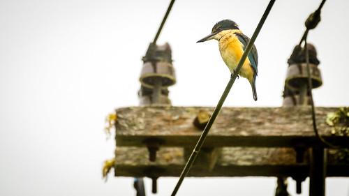 High power kingfisher