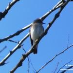 Aves en las lagunas de La Guardia (Toledo) 4-5-2019