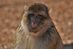 Montagne des singes D500 (105) 2 - Photo of Thanvillé