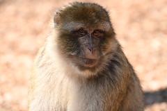 Montagne des singes D500 (102) - Photo of Thanvillé