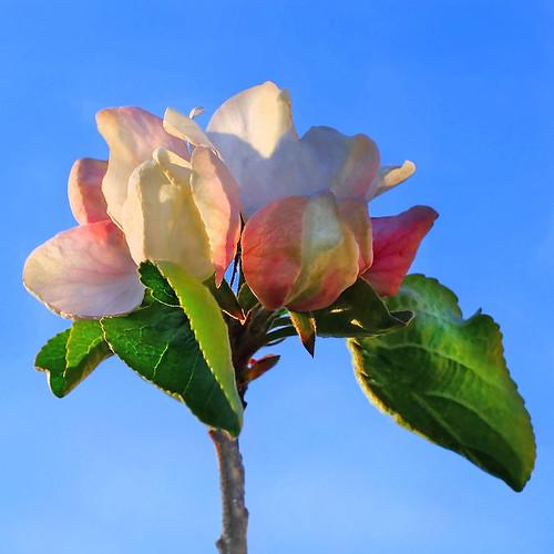 Apple blossoms -