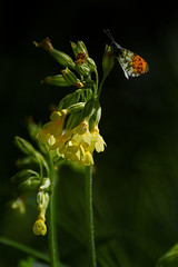 Une aurore dans les primevères (2) / Orange tip in the cowslips (2) - Photo of Le Châtelet-en-Brie