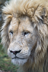 Another white lion