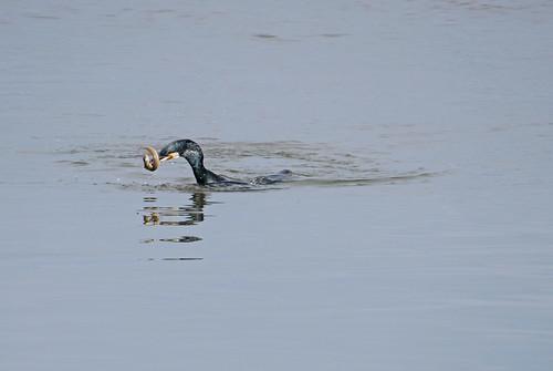 Great cormorant and eel
