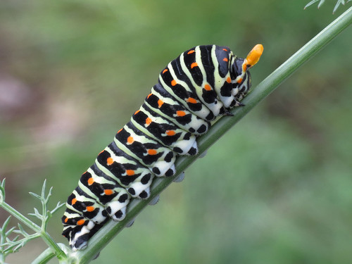 Papilio machaon caterpillar (Swallowtail)