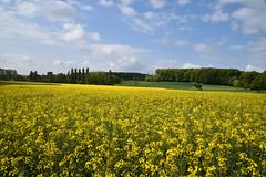 La floraison du Colza - Photo of Schœnenbourg