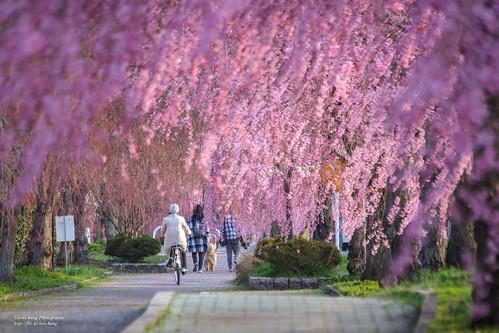 粉紅雨 Pink Rain _MG_9143