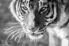 Beautiful Tiger at Big Cat Rescue