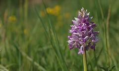 Orchidée Militaire - La Corne - Malans