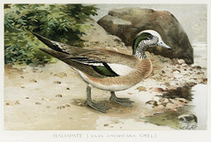 Baldpate bird vintage drawing