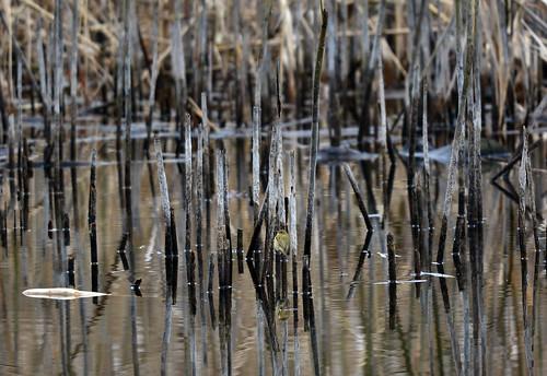 Luì verde - Wood warbler (Phylloscopus sibilatrix)