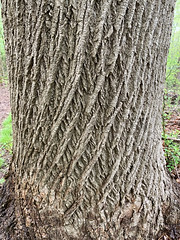 Braided Tree, Staten Island Greenbelt