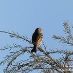 Aves en las lagunas de La Guardia (Toledo) 1-5-2019