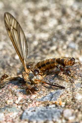 Ants eating small dragonfly