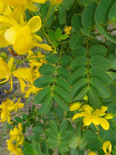 Senna pendula leaf NC1