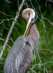 Great Blue Heron Preening (Ardea herodias) (DMSB0159)