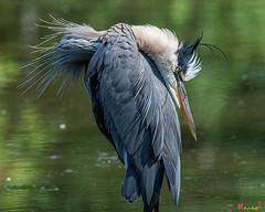 Great Blue Heron Preening (Ardea herodias) (DMSB0155)