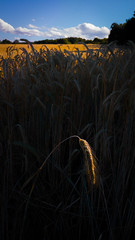 Single wheat plant lit by sunlight and blue sky in the background