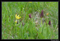 Coucou (Primula veris) et Orchis militaire (Orchis militaris)
