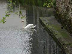 Swan and moorhen