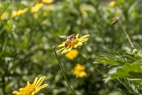 Abeja polinizando / Bee pollinating