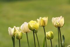 Tulip, Shirley Double