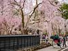 Photo:角館武家屋敷のしだれ桜(秋田県仙北市) By kzy619