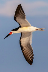 Black Skimmer Inflight