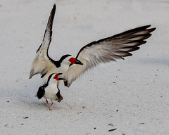 Pair of Black Skimmers Matting