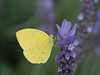 Photo:Common grass yellow butterfly (Eurema hecabe hecabe, キチョウ) on lavendar flowers By Greg Peterson in Japan
