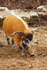 Potamochère (Potamochoerus porcus) - Photo of Dompierre-sur-Besbre