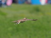 Photo:Japanese skylark (Alauda japonica, ヒバリ) By Greg Peterson in Japan