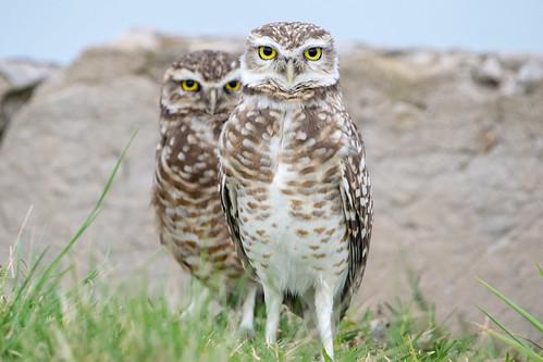Lechucitas vizcacheras - Burrowing owl