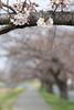 Photo:20190329 Sanagawa river bank 5 By BONGURI