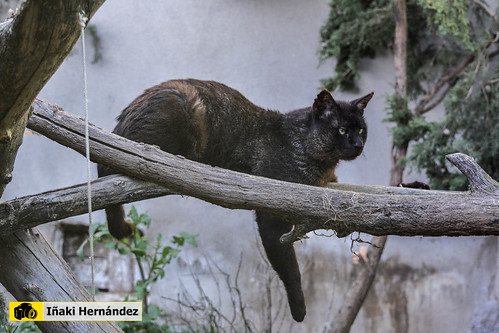 Gato de la jungla (Felis chaus)