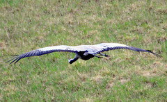 Gliding over the field...