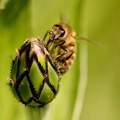L'abeille noire. - Photo of Bignoux