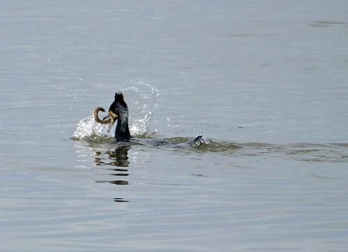 Great cormorant and eel 3