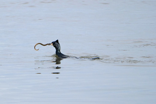 Great cormorant and eel 2