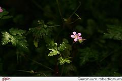 Geranium robertianum, petirrojo rojo, la muerte llega rápidamente, caracol, zorro geranio, apestoso Bob, patas de gallo,