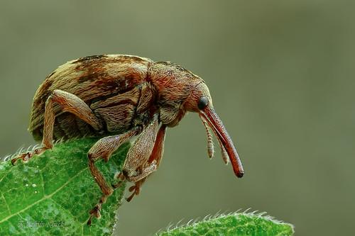 Rüsselkäfer (Curculionidae) - Größe 4 mm (Explored)