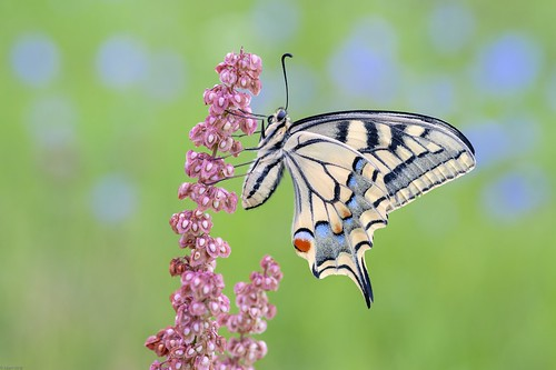 *The swallowtail lady in the morning*