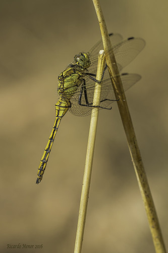 Orthetrum cancellatum. Young male