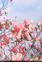 Magnolias (2019-film)