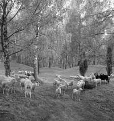 Grazing sheep at Viking Age grave field on Björkö island, Uppland, Sweden