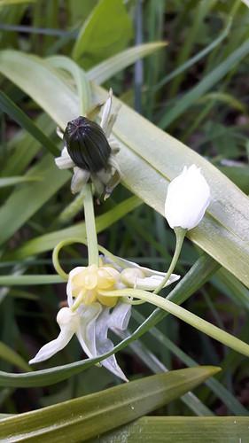Wunder-Lauch (Allium paradoxum) (1)
