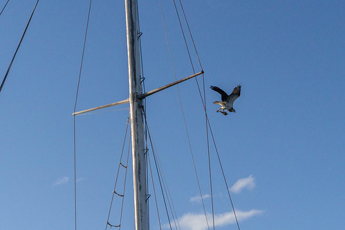 Raptor with lunch over the Clarence