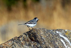 The stone and wagtail...