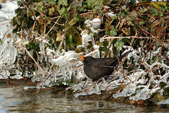 Merle noir Turdus merula - Common Blackbird - Photo of Saint-Blaise-du-Buis