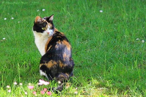 Glückskatze - Tortoiseshell cat (in explore 15.05.2019)